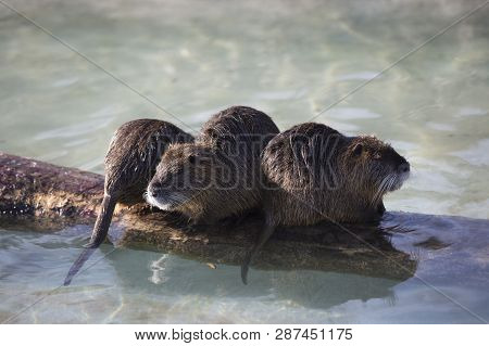 Several Nutrias Swimming In The Water, Wintertime