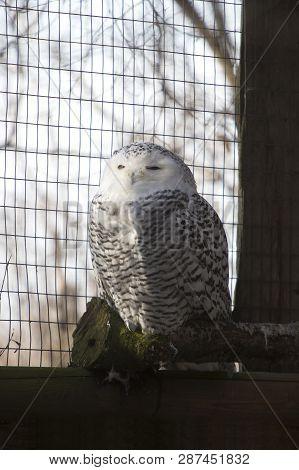 Snow Owl Sitting On A Tree Trunk