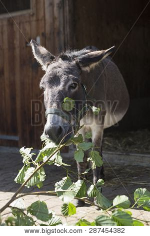 Portrait Of A Grey Donkey Outdoors In Springtime