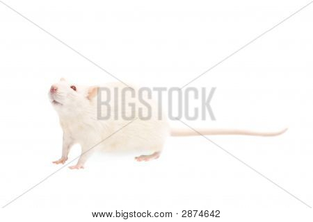 the albino rat isolated on white background poster