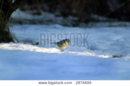 Blue tit in sunbeam sitting on the snowy ground poster