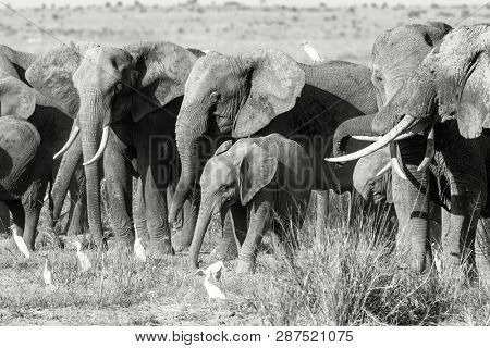 Herd of elephants in Amboseli National Park, Kenya. This family group are protecting the babies by keeping them between the larger animals. Black and white.