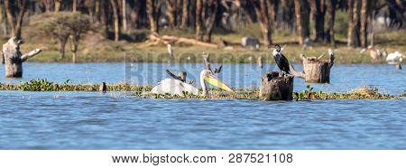 A great white pelican and a cormorant on Lake Naivasha, Great Rift Valley, Kenya. Popular social media banner proportions.