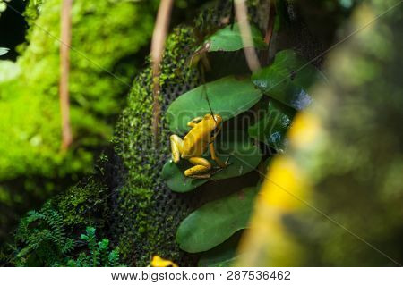 Golden Poison Arrow Frog (Phyllobates terribilis). Colourful bright yellow tropical frog