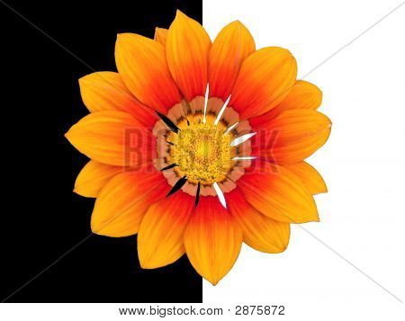 Fire and sun patterned daisy with ants isolated on black and white poster