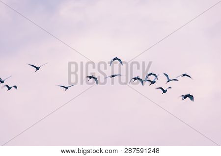 Blurred photo with birds in motion. Blue heron flying.  Group of birds flying. Bird migration. Freedom concept.Copy space. poster