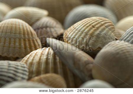 Sea Shell 6