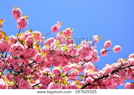 Beautiful Floral Spring Abstract Background Of Nature. Cherry Blossom. Sacura Cherry-tree. For Easte