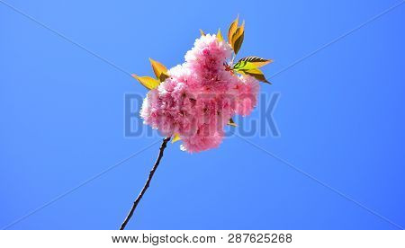 Cherry Blossom. Sacura Cherry-tree. For Easter And Spring Greeting Cards With Copy Space. Subaru Che