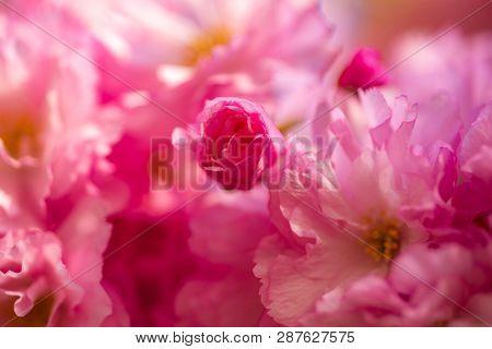 Cherry Blossom. Sacura Cherry-tree. Japanese Cherry. Prunus Serrulata Close Up