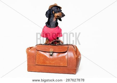Dachshund Breed Dog, Black And Tan, In A Cowboy Hat And Pink T-shirt Standing On A Vintage Suitcase