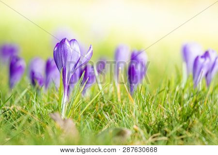 Violet Crocus Flowers Blooming On A Meadow In The Springtime In Bright Daylight