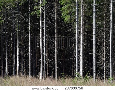 Spruce Trees Texture Background Image. Summer Landscape With Majestic Trees In A Row. Lodja, Estonia