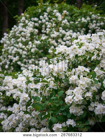 Jasmine Or Jasminum Officinale Vine And White Flowers In Spring. Background