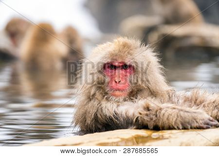 Japanese Snow monkey Macaque in hot spring Onsen Jigokudan monkey Park, Nakano, Japan