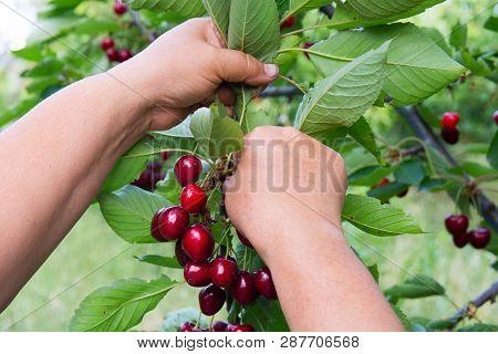 Picking Fruit From Cherry Wood. Cherry Picker Hands. Fresh Organic Cherries. Red Fresh Cherry On The
