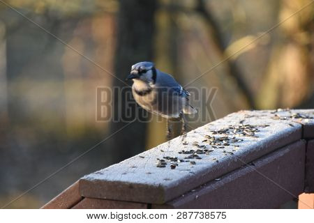 Blue Jay Animal Bird Hoping On A Backyard Deck Porch Eating Birdseed In Winter Illuminated In The So