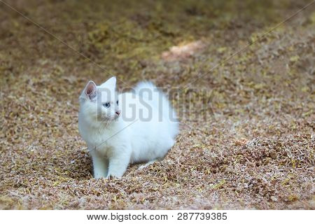 Beautiful white cat playing on wooden sawdust. poster