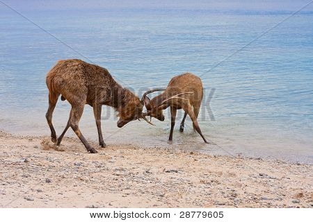 Two deer butt horns at ocean .Close up in a sunny day poster