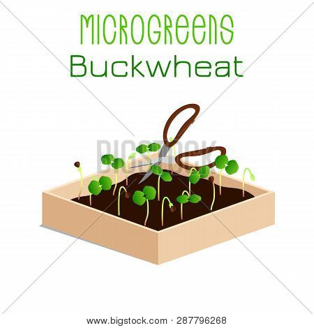 Microgreens Buckwheat. Grow Microgreen In A Box With Soil. Cutting The Harvest With Scissors. Vitami