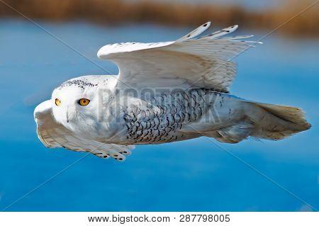 A Snowy Owl In Flight Against Blue Water
