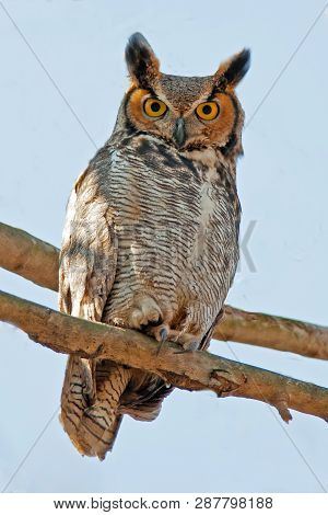 Great Horned Owl Sitting In A Tree