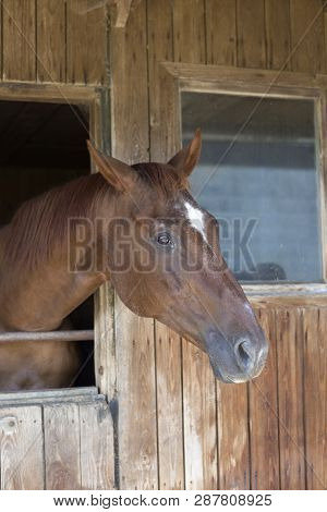 Brown Horse In A Racing Stable Without Halter
