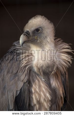 Portrait Of A Griffon (gyps Fulvus) In Front Of Black Background