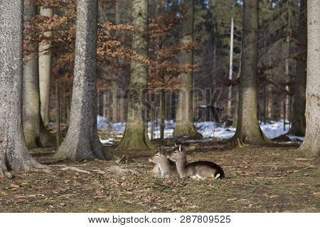 Two Young Roe Deer In A Snowy Forest