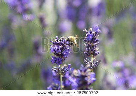 Closeup Of A Bee In Purple Lavender Field