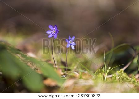 Two Blue Hepatica Growing In The Forest