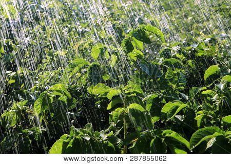 rain waters on the field of potatoes
