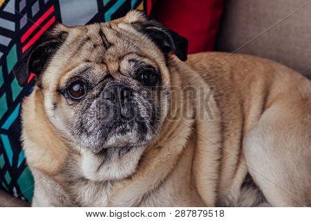 Portrait Of A Senior Pug Dog On The Sofa