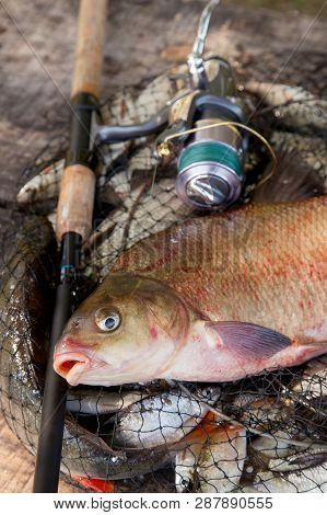 Trophy Fishing. Close Up View Of Big Freshwater Common Bream Fish And Fishing Rod With Reel On Landi