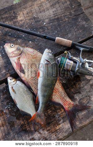 Big Freshwater Bronze Bream Or Carp Bream, White Bream Or Silver Bream, Perch And Fishing Rod With R