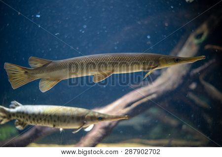Longnose Gar (lepisosteus Osseus) Can Be Found In Freshwater In America