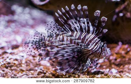 Portrait Of A Common Devil Fish, Beautiful Tropical Fish From Pacific Ocean, Popular Aquarium Pet In