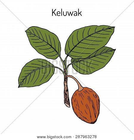Keluwak Pangium edule eatable plant. Hand drawn botanical vector illustration poster