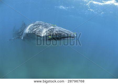 Alimentador de plancton