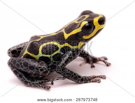 Amazon poison dart frog, Ranitomeya imitator, Baja Huallaga, Peru. Macro of a yellow striped animal from the Amazonian rain forest. Isolated on white.