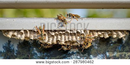 The Common Wasp (lat. Vespula Vulgaris) Is A Species Of Hymenoptera. Creates Some Of The Largest Col