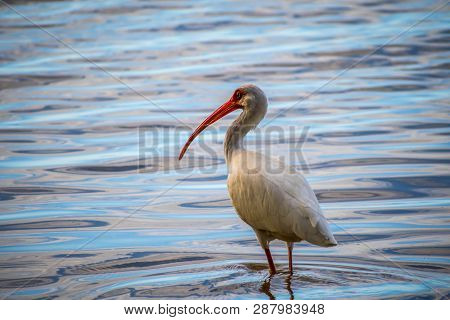 A Natural White Ibis In Brandeton, Florida