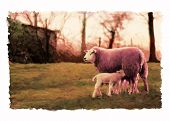 feeding lambs and sheep at sunset. poster