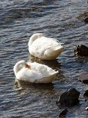 Two white mallard ducks float by the shore with their beaks buried in their wings. poster