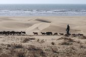 A shepherd herding his sheep and goats across a sand dune beach coastline. poster
