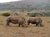 this male and female rhino were most of the time together as she was pregnant poster