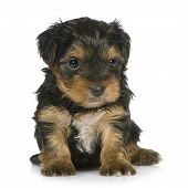 Yorkshire Terrier puppies (1 month) in front of a white background poster