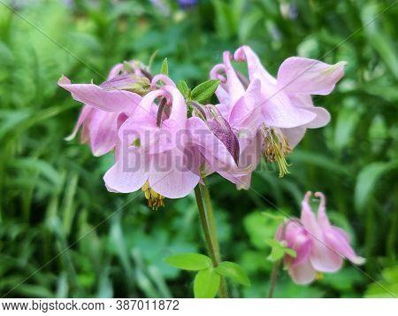 Aquilegia Flowers Grow In Garden In Summer