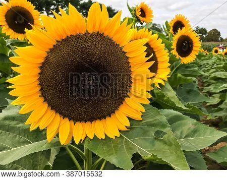 Beautiful sunflower field in bloom with green leaves close up
