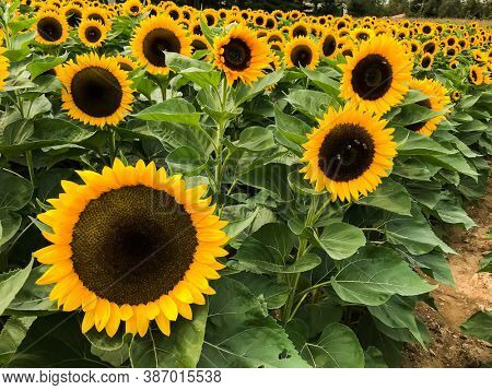 Beautiful sunflower field in bloom with green leaves